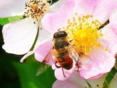 【蜜蜂知识】蜜蜂为什么正在逐渐消失?