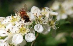 【蜜蜂知识】中华蜜蜂在哪里分布?
