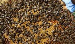 【蜜蜂知识】东北黑蜂的盗性强吗?