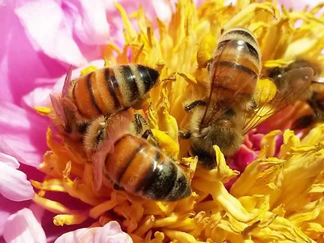 世界四大名蜂