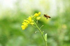【蜜蜂知识】赞美蜜蜂的诗词有哪些?