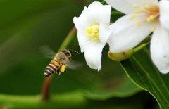 【蜂蛹吃法】蜂蛹怎么吃最好