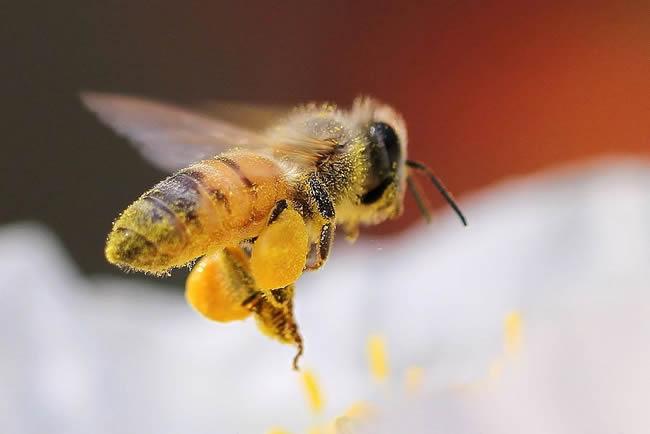 【蜜蜂知识】在蜂群中如何辨别蜂后?