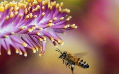 如何引诱捕捉别人家的蜜蜂(别人养的蜜蜂能不能诱到)