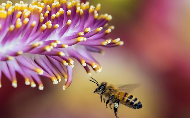 别人养的蜜蜂能不能诱到