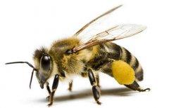 【蜜蜂知识】蜜蜂蛰了如何消肿止痒?