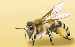 【蜜蜂知识】世界上有多少种蜜蜂?