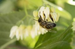 【蜜蜂知识】东北黑蜂有哪些缺点?