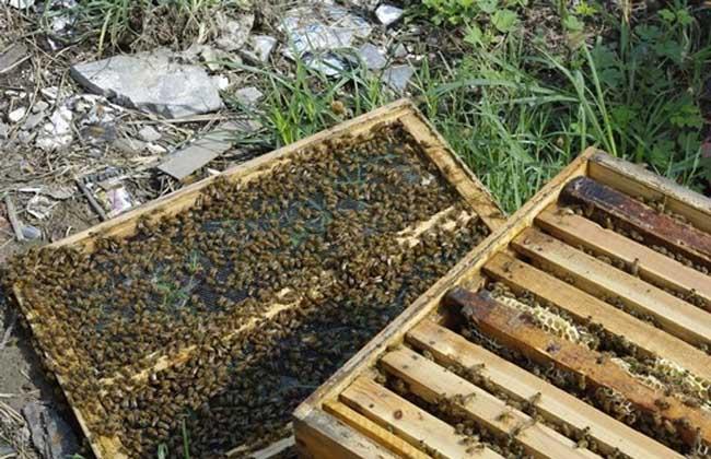 【蜜蜂知识】如何进行人工分蜂?