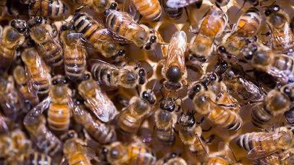 【蜜蜂知识】常见的中蜂王品种