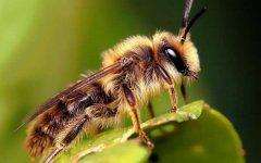 【蜜蜂知识】夏季蜂王停产的原因?