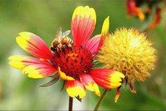 【蜜蜂知识】什么品种的中蜂蜂王最好?
