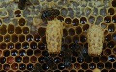 人工培育蜂王技术视频