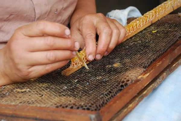人工培育蜂王技术