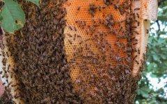 中蜂人工分蜂养殖技术视频