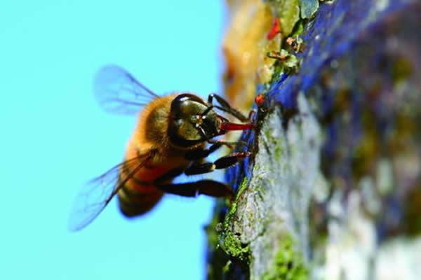 蜂胶生产过程技术