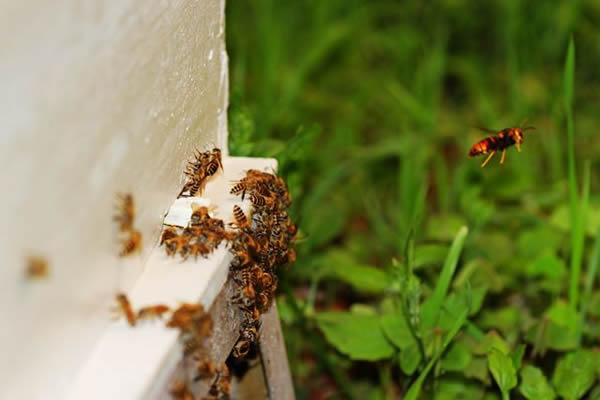 中华蜜蜂抵御天敌视频