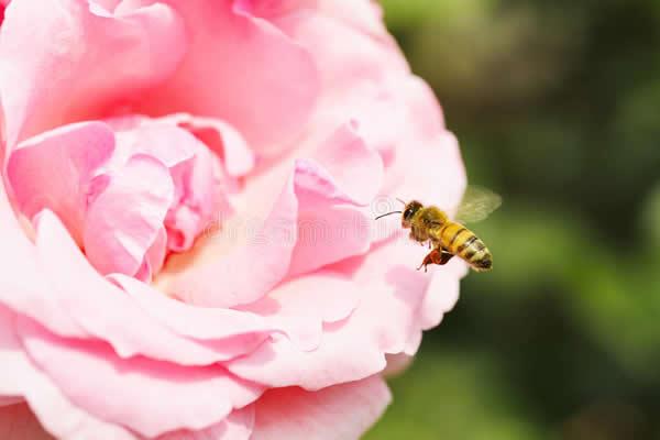 蜂毒提取与加工技术视频