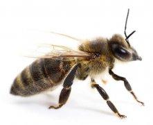 工蜂如何喂养幼虫的?