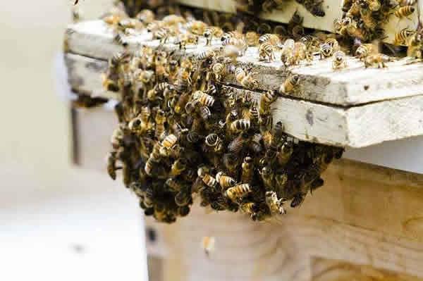 蜜蜂春季繁殖技术视频