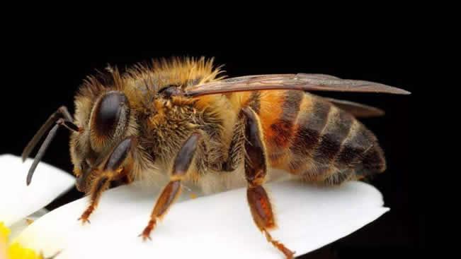 蜂毒的采集方法视频