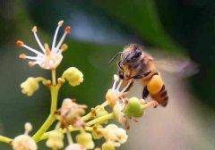 【蜜蜂知识】全国主要蜜源植物大全