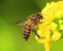 为什么夏天蜜蜂易飞逃?