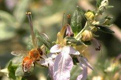 我国蜜蜂种类及特点