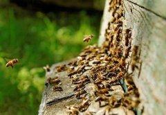 【蜜蜂知识】蜜蜂自然分蜂前有什么特点?