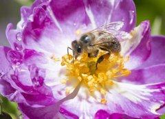 怎样人工喂养蜜蜂?