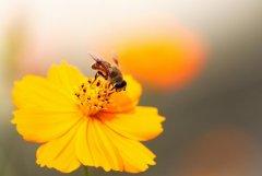 蜜蜂自然分蜂时会往哪里飞呢?