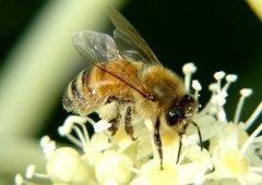 蜜蜂自然分蜂的原因是什么?