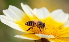 为什么蜜蜂繁殖率不高?