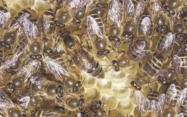 长白山中蜂