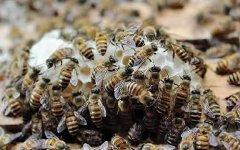 如何检查蜂群?