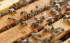 蜜蜂打架的起因及处理办法