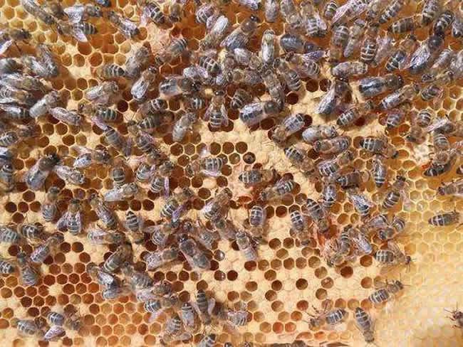 【蜜蜂知识】雄蜂多是什么原因?