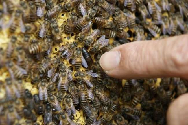 第一个蜂王怎么产生的