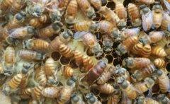 养蜂人如何选购种蜂王?