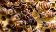 一天之内蜂王什么时候产卵?