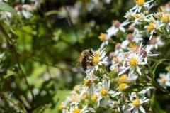 中蜂自然分蜂一年几次?