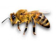 雄蜂的寿命有多长时间?