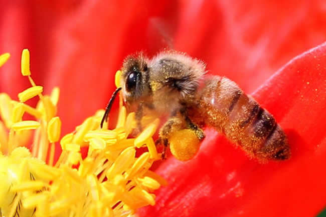 一只蜜蜂寿命是多久