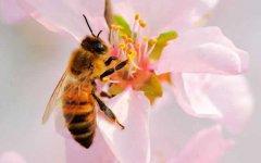 蜜蜂养殖的注意事项有哪些?