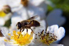养殖蜜蜂100箱能有多少利润?