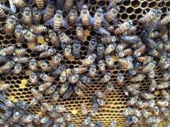 养蜂人怎么调节蜂脾关系?