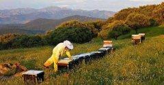 养蜂人怎样培育种用雄蜂?