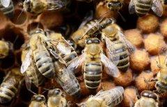 怎么区分工蜂和蜂王?