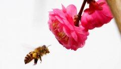 蜜蜂科普知识