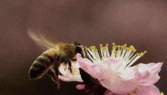 收捕蜂群时如何判断有没有蜂王?